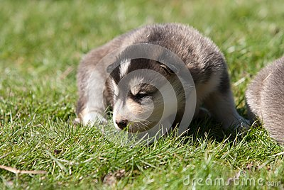 Alaskan malamute puppy 3
