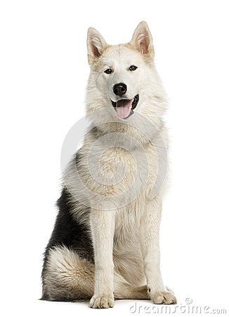 Alaskan Malamute sitting, staring and sticking his tongue out