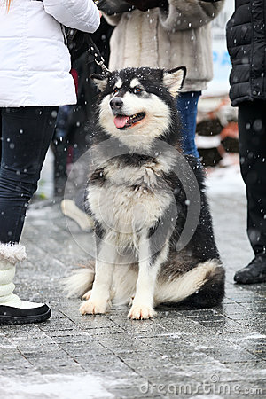 Alaskan Malamute on a winter day