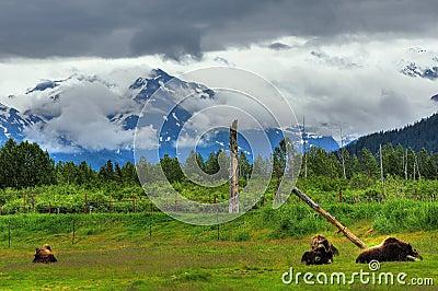 Alaskan musk