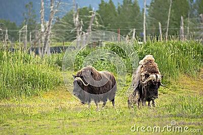Alaskan musks