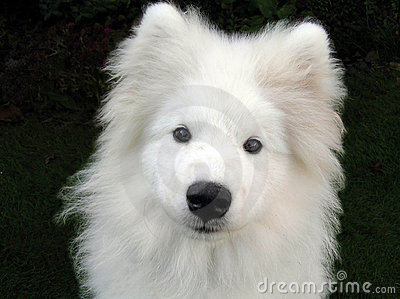 Alaskan Samoyed Puppy