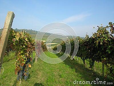 Alba Barolo vineyards Piemonte Italy