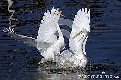 Alba egret ardea большой