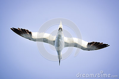A Albatros flies in the clear blue sky. Stock Photo