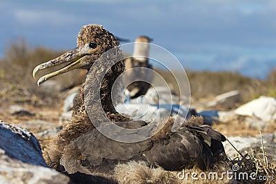 Albatross Chick