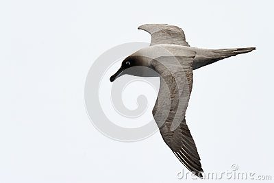 Albatross flying against a white sky