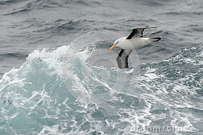 Albatross flying between waves
