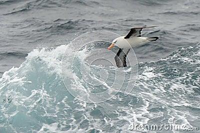 Albatross flying between waves