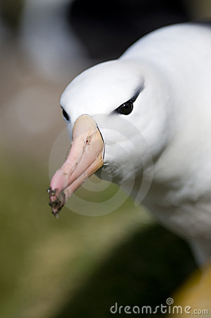 Albatross Glare.