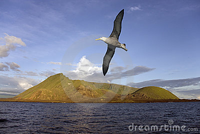 Albatross - Isabella Island - Galapagos Islands
