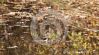 Alberi di autunno che riflettono in acqua video d archivio