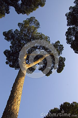 Alberi sempreverdi nel cielo fotografie stock libere da for Alberi sempreverdi