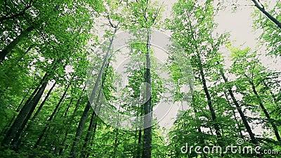 Alberi verdi lunghi in una foresta nel tempo di primavera archivi video