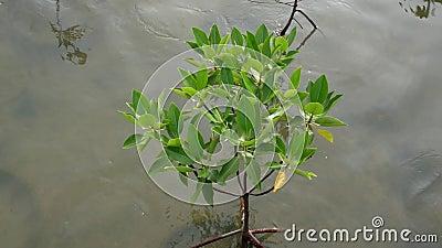 Albero alto vicino delle mangrovie archivi video
