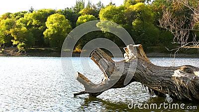 Albero asciutto sul lago stock footage