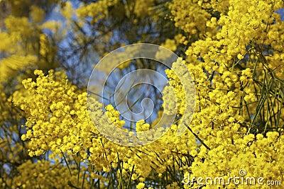 Albero australiano dell 39 acacia o del mimosa in fioritura for Acacia albero