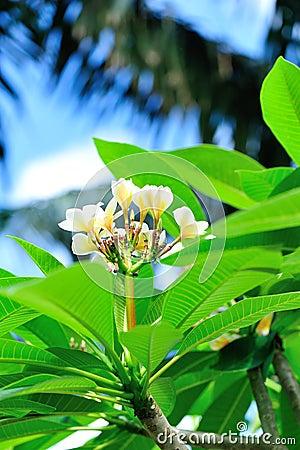 Albero del frangipane con i fiori immagine stock for Albero con fiori blu
