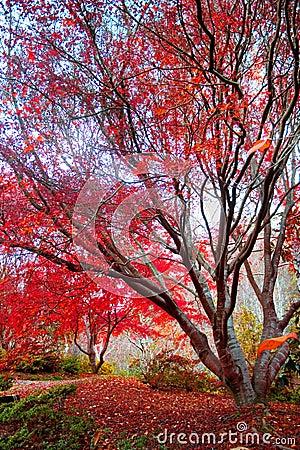 Albero di acero rosso giapponese immagini stock libere da for Acero rosso giapponese