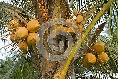 Albero di noce di cocco