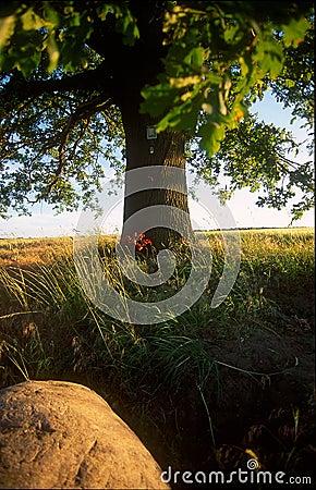 Albero di quercia