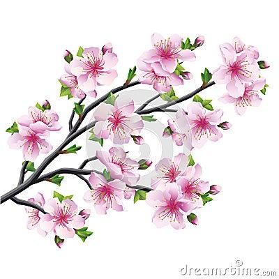 Albero giapponese sakura fiore di ciliegia isolato for Sakura albero