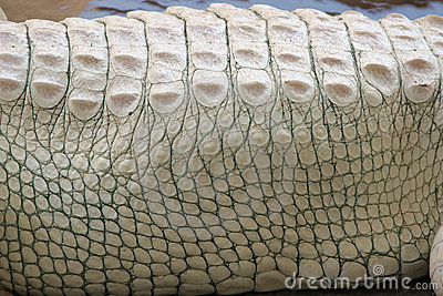 Albino Alligator Texture