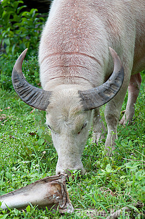Albino buffalo (white buffalo) eating grass