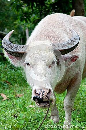 Free Albino Buffalo (white Buffalo) Eating Grass Royalty Free Stock Image - 22007326