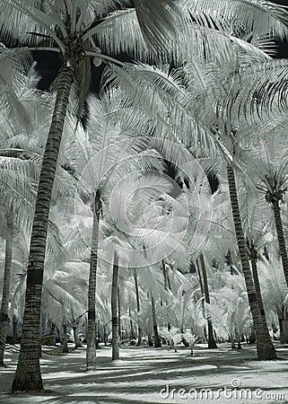 Albino Coconut Trees