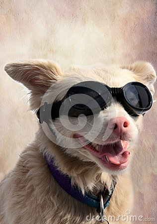Free Albino Dog With Sunglasses Royalty Free Stock Image - 103336746
