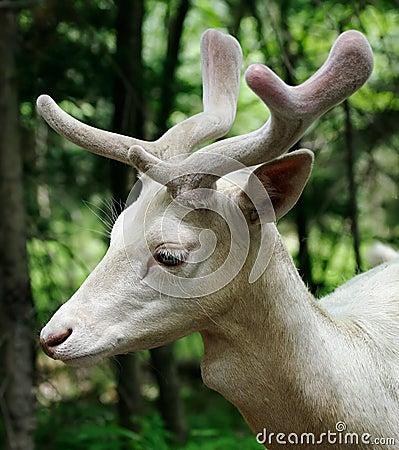 Free Albino Fallow Deer Royalty Free Stock Images - 1015109