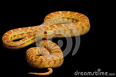 Albino Gopher Snake