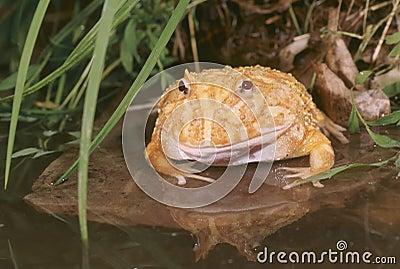 Albino horn frog (ceratophrys cranwelli)