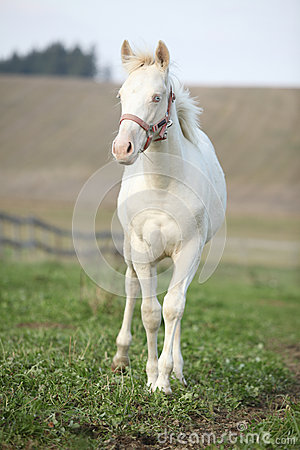 Albino horse with pink halter