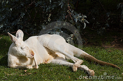 Albino Kangaroo Dozing
