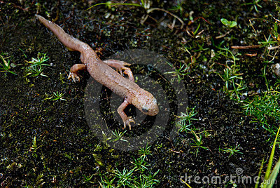 Albino Newt Without Color Pigments