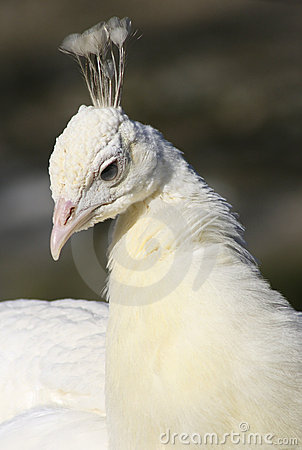 Albino peafowl