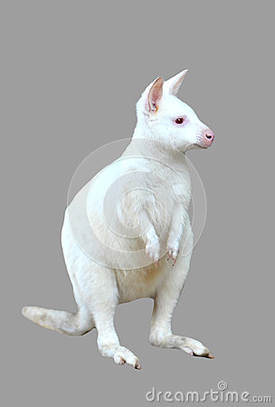 Free Albino Wallaby Isolated Stock Image - 36932271
