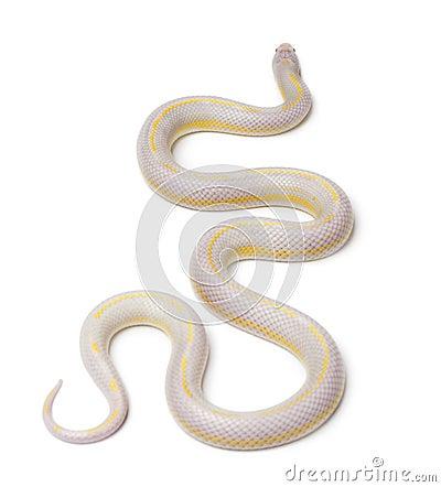 Albinos banana eastern kingsnake