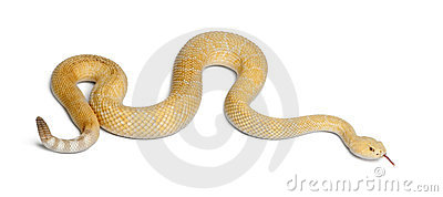 Albinos western diamondback rattlesnake