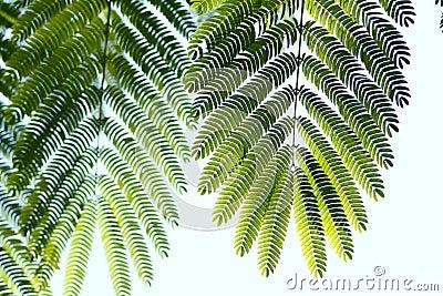 листья albizzia