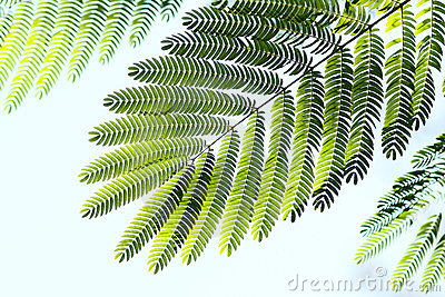Albizzia leaves