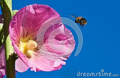 Alcea rosea with bee