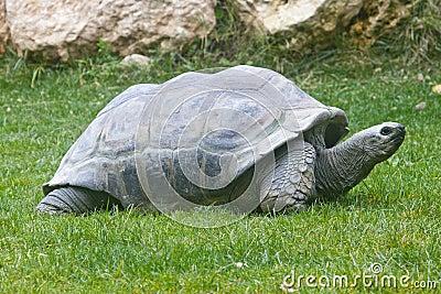 Aldabra Giant Tortoises
