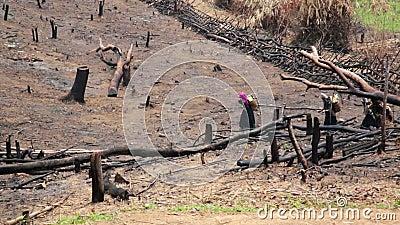 Aldeões Carry Back e passeio de Akha na floresta queimada, Laos vídeos de arquivo
