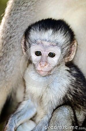 Alert baby Vervet monkey