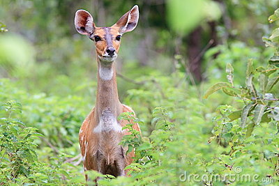 Alert Bushbuck in Mole National Park, Ghana