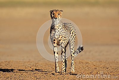 Alert Cheetah