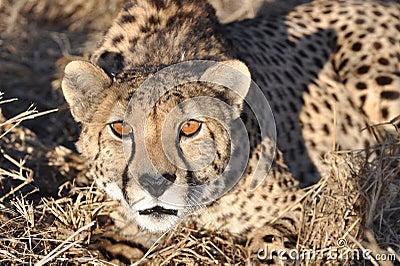 Alert cheetah crouching